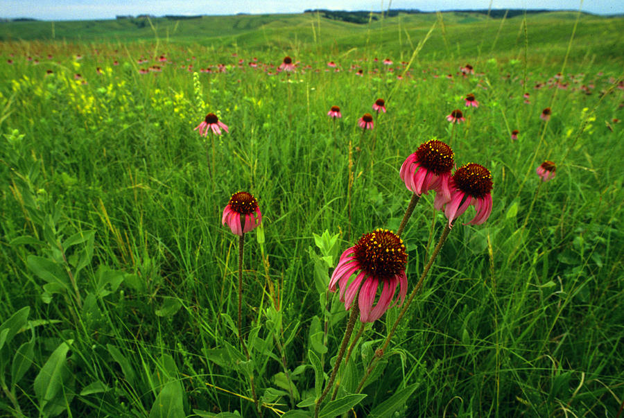 Color Image Photograph - A Field Of Purple Coneflowers by Annie Griffiths