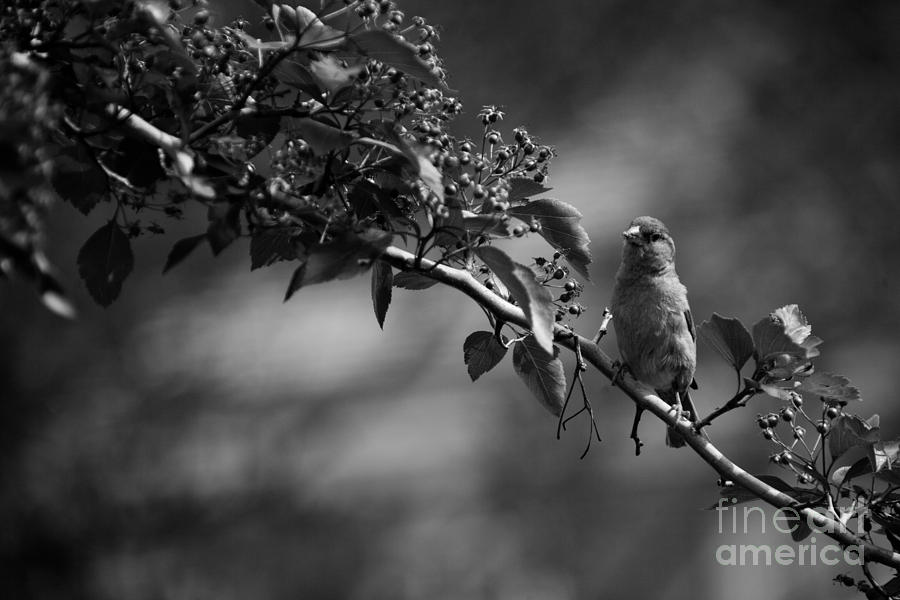 A Finch In Philly Photograph  - A Finch In Philly Fine Art Print