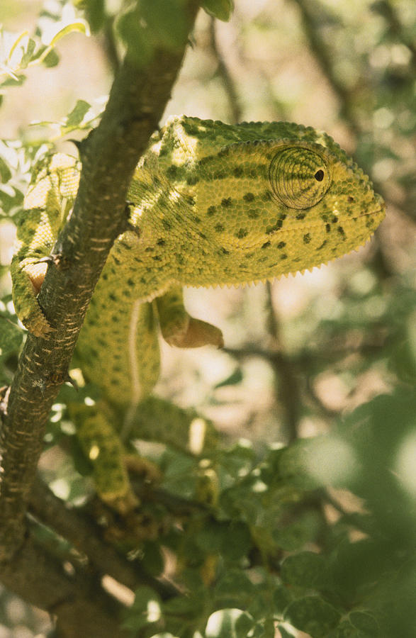 A Flap-necked Chameleon Well Photograph