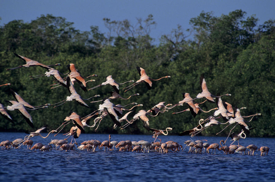 Flamingos Photograph - A Flock Of Flamingos Phoenicopterus by Kenneth Garrett