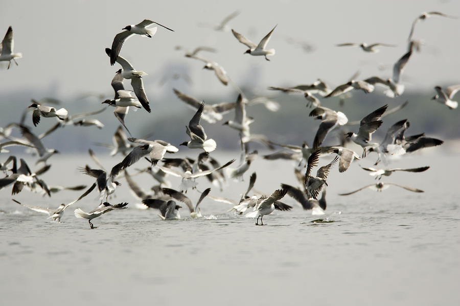 A Flock Of Laughing Gulls Larus Photograph  - A Flock Of Laughing Gulls Larus Fine Art Print