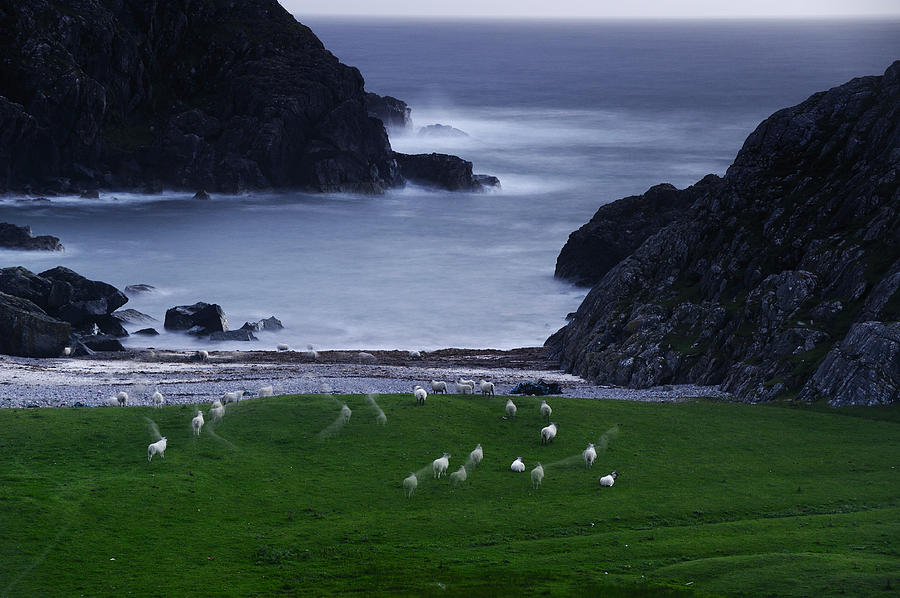 A Flock Of Sheep Graze On Seaweed Photograph