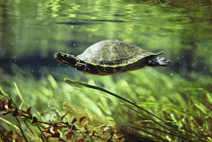 Freshwater Turtle Swimming Underwater by Bill Curtsinger