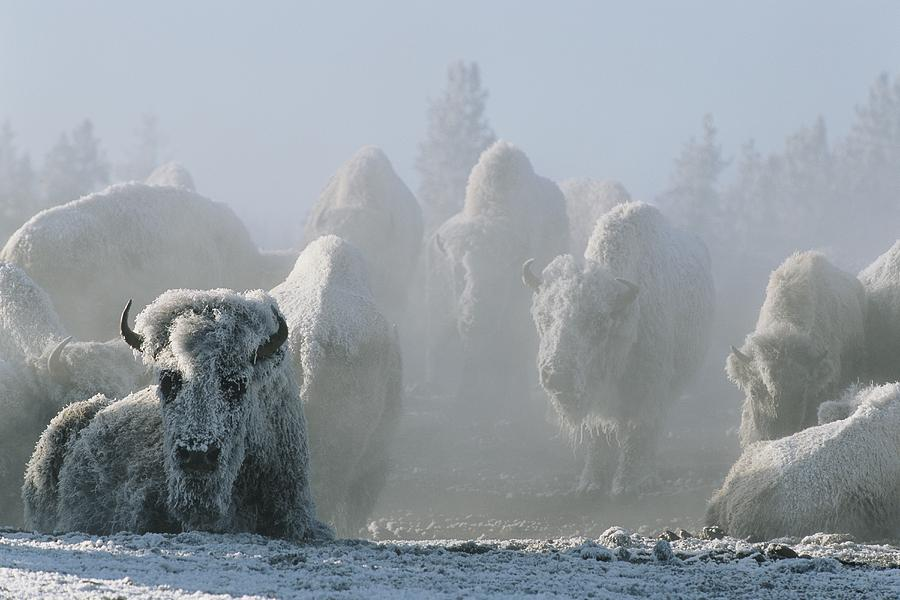 A Frost-covered Herd Of American Bison Photograph