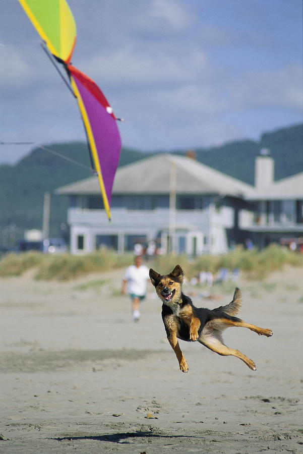 A German Shepherd Leaps For A Kite Photograph