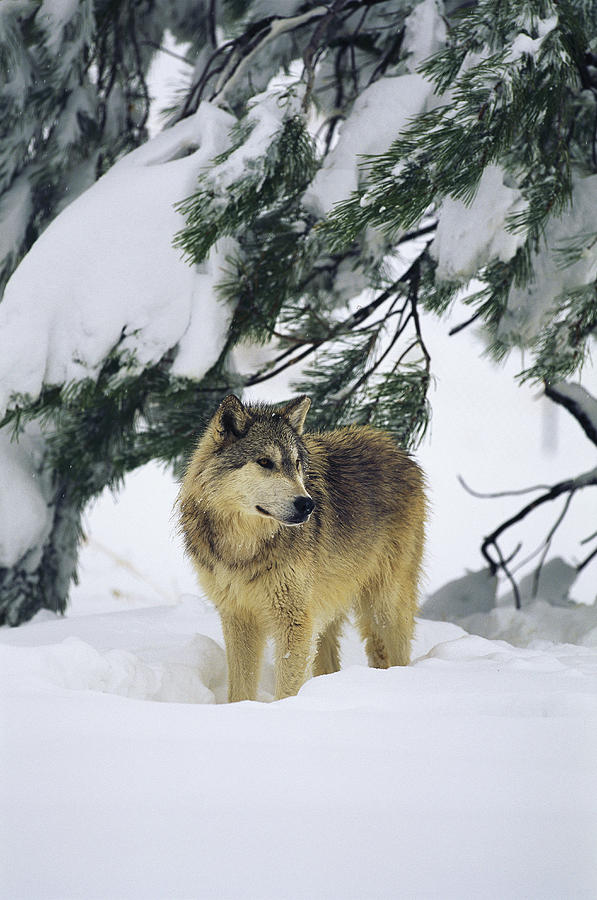 A Gray Wolf Stands Under Photograph  - A Gray Wolf Stands Under Fine Art Print