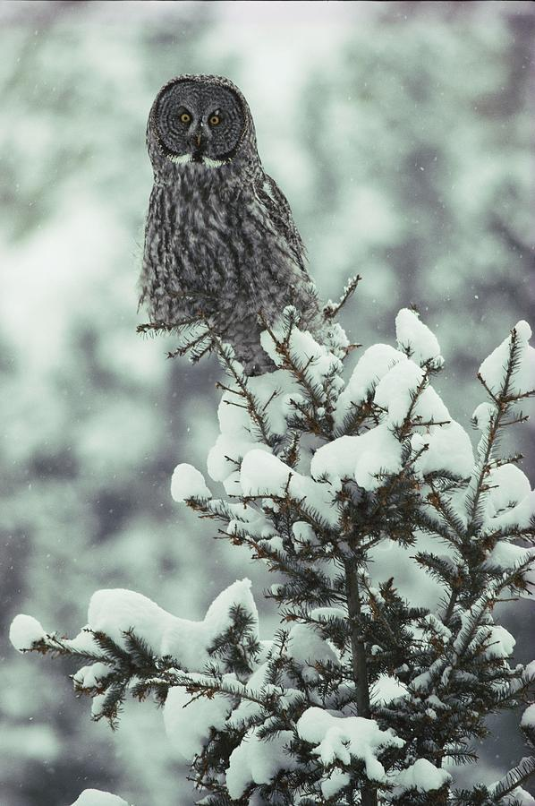A Great Gray Owl Strix Nebulosa Perches Photograph  - A Great Gray Owl Strix Nebulosa Perches Fine Art Print