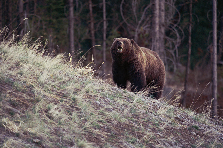 A Grizzly Bear Approaching The Crest Photograph  - A Grizzly Bear Approaching The Crest Fine Art Print
