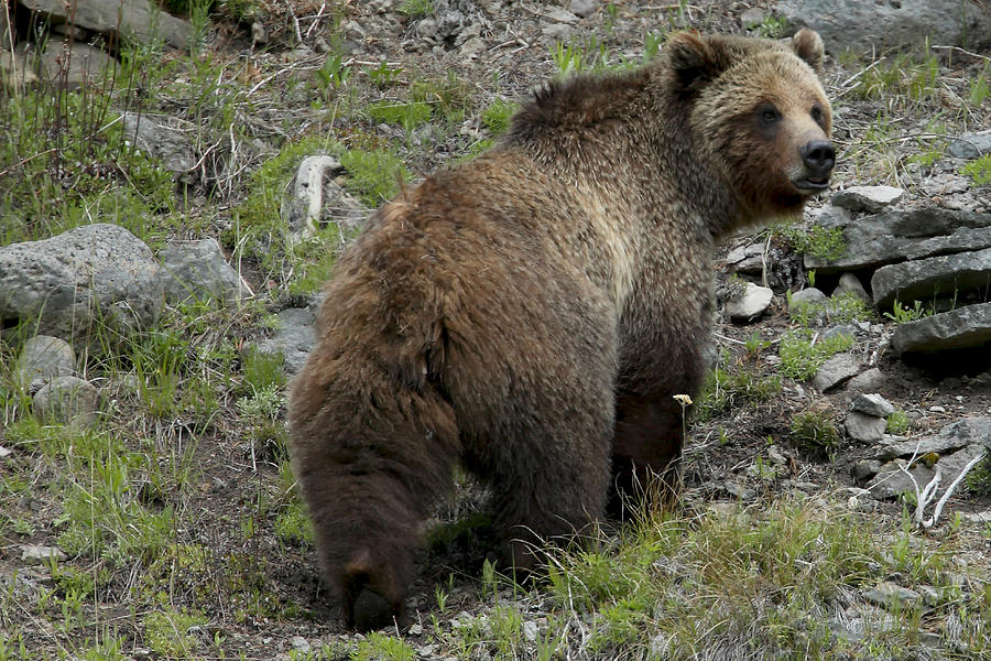Grizzly bear walking - photo#6