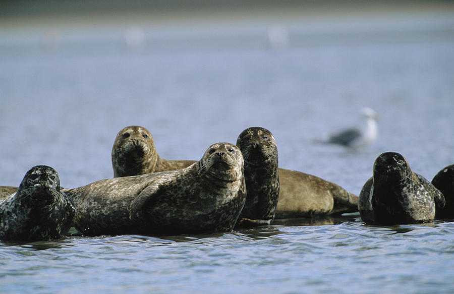 A Group Of Seals 41