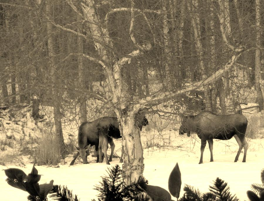 A Group Of Moose 19