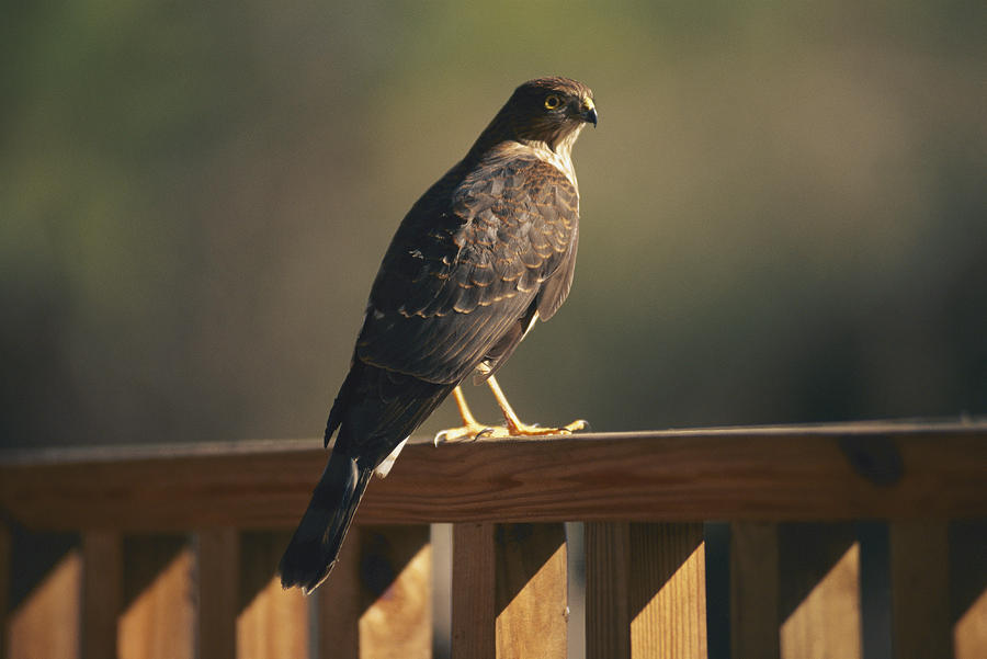 A Hawk Takes A Rest On A Porch Rail Photograph