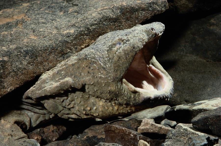 Hellbender Salamander A hellbender salamander in its