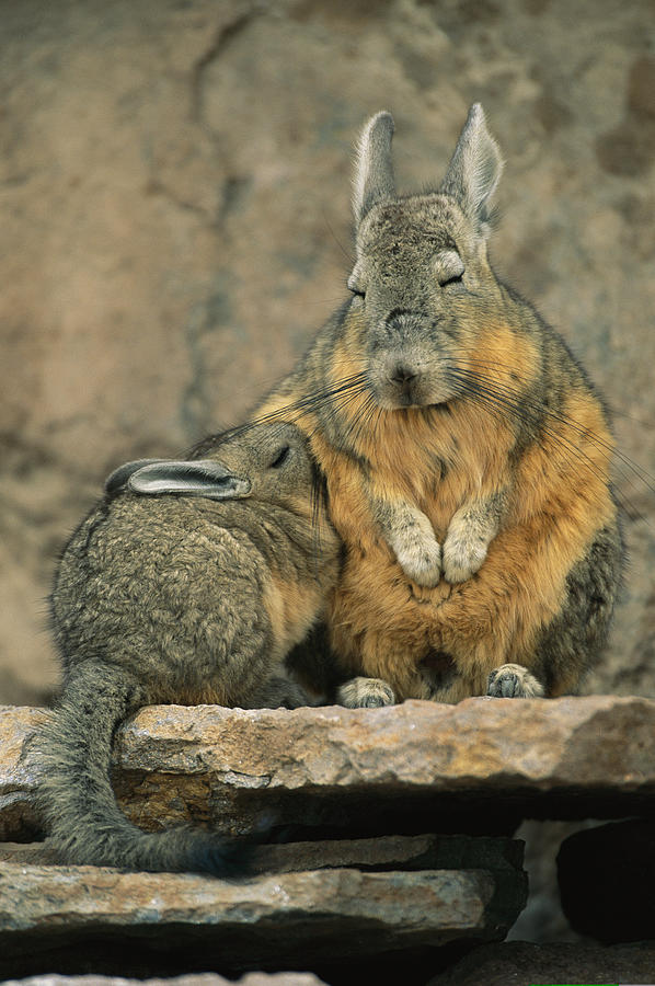a herbivorous viscacha nurses her baby photograph by joel sartore. Black Bedroom Furniture Sets. Home Design Ideas