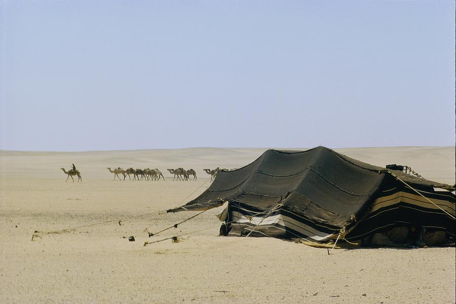 A Herd Of Camels Heading Photograph
