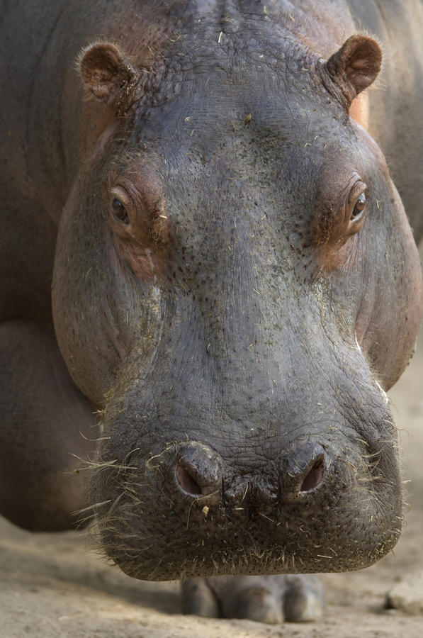 A Hippopotamus At The Sedgwick County Photograph  - A Hippopotamus At The Sedgwick County Fine Art Print