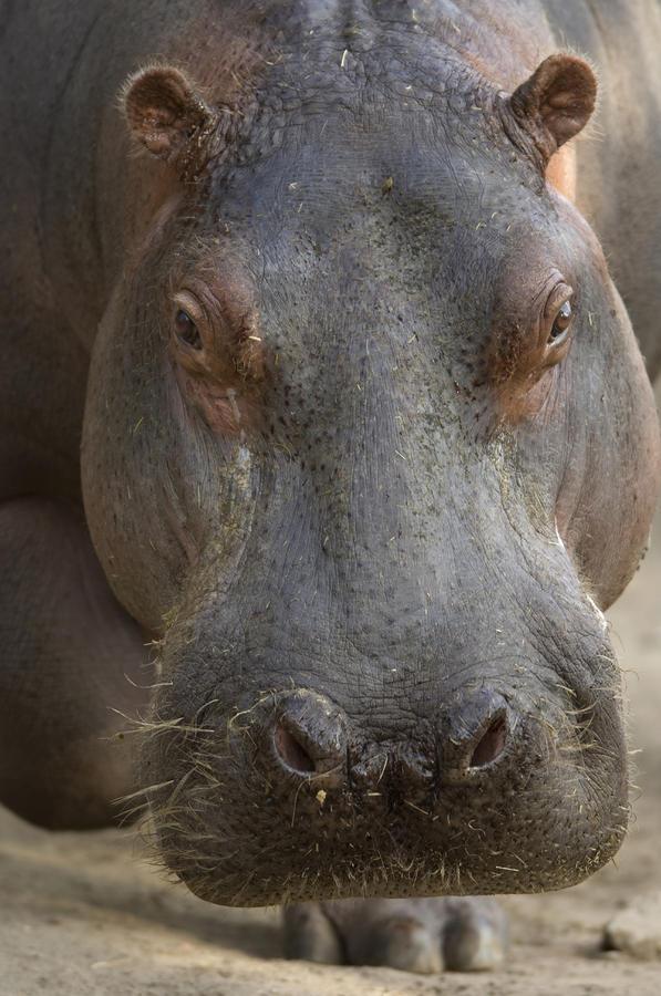 A Hippopotamus At The Sedgwick County Photograph