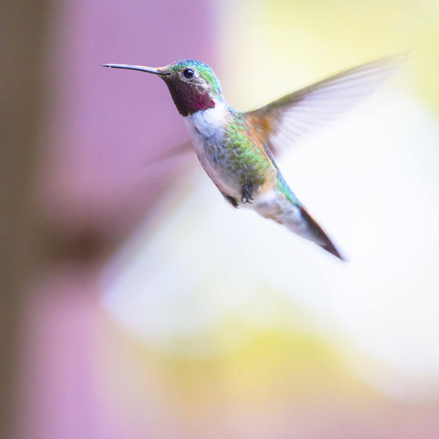 A Humming Bird In The Rocky Mountains Photograph