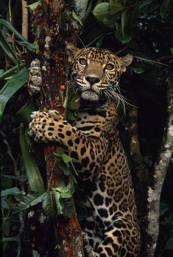 A Jaguar Named Boo Climbs A Tree Photograph  - A Jaguar Named Boo Climbs A Tree Fine Art Print