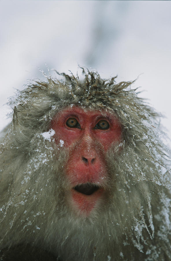 A Japanese Macaque, Or Snow Monkey Photograph  - A Japanese Macaque, Or Snow Monkey Fine Art Print