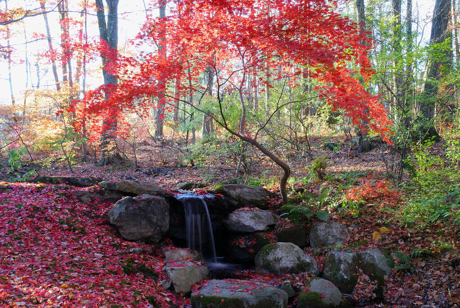 A Japanese Maple Tree With Red Leaves Photograph By