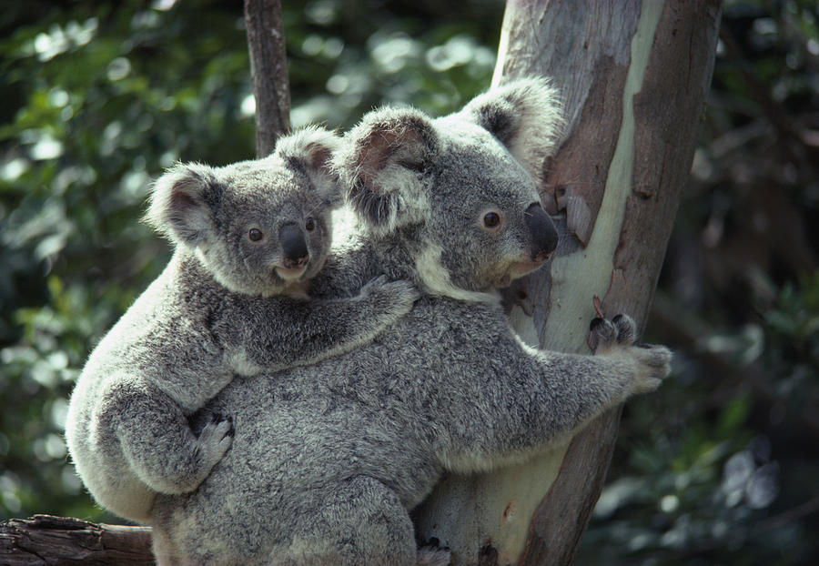 Koala bear hugs a tree photograph