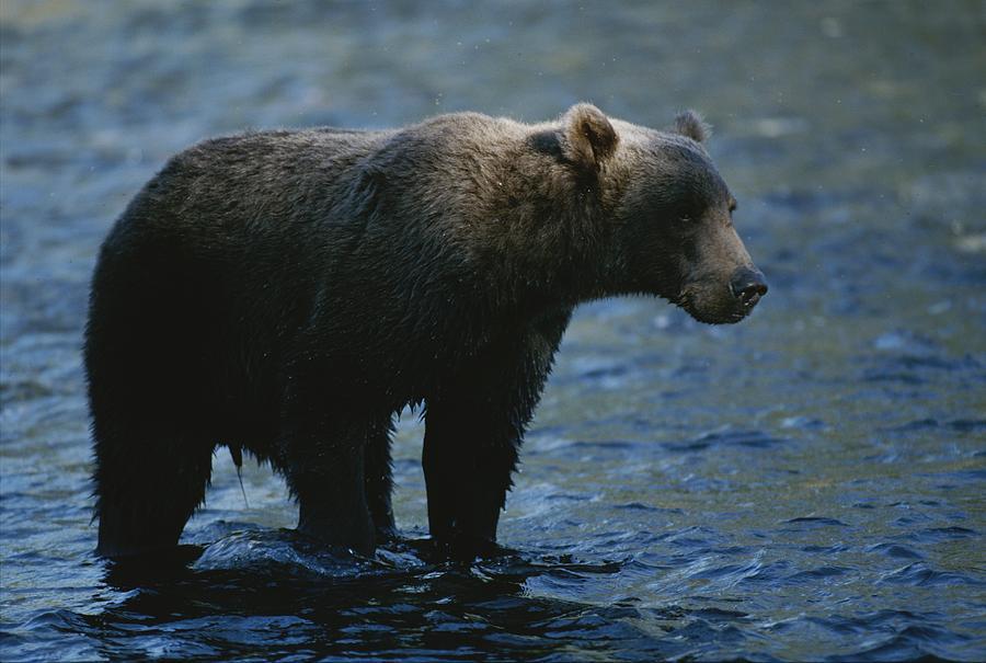 A Kodiak Brown Bear Hunts For Fish Photograph