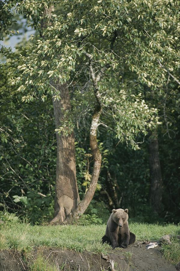A Kodiak Brown Bear On The Bank Photograph