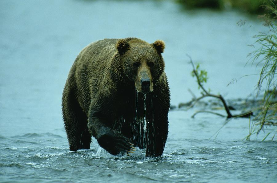 A Kodiak Brown Bear Ursus Middendorfii Photograph