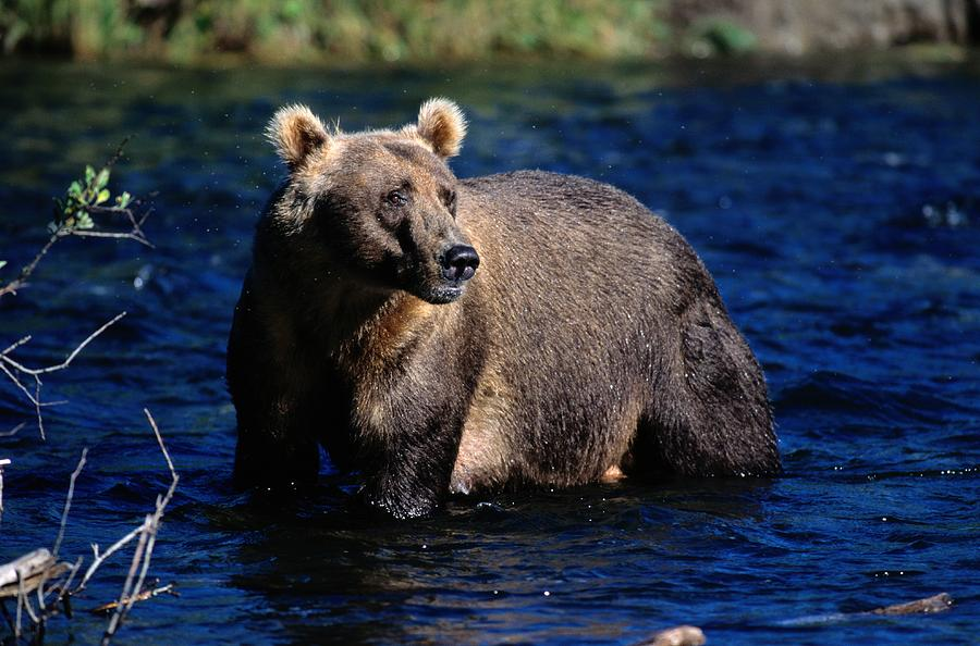 A Kodiak Brown Bear Wades In An Alaska Photograph