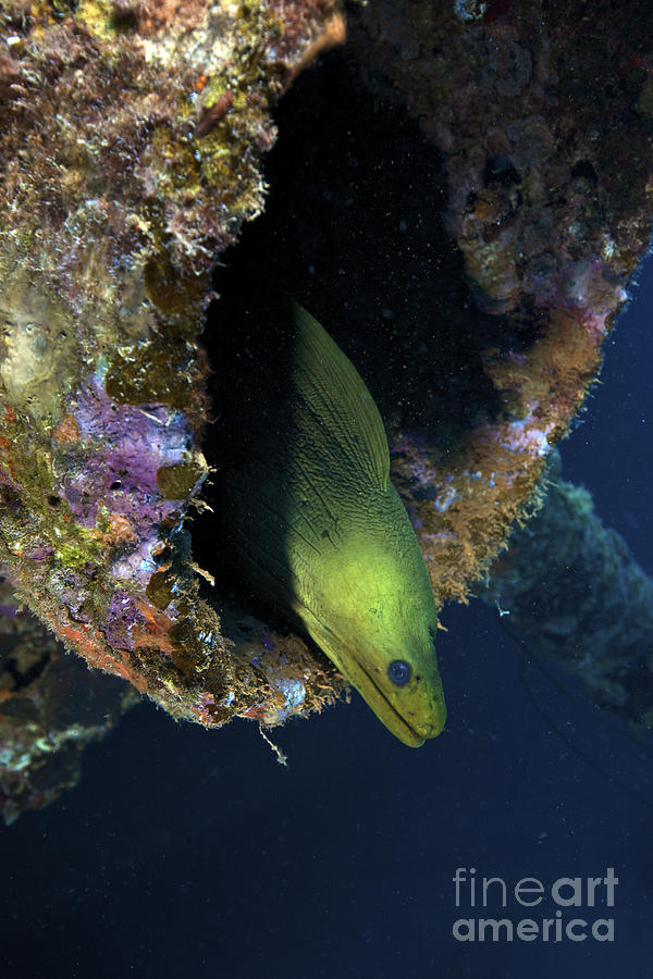 A Large Green Moray Eel Photograph