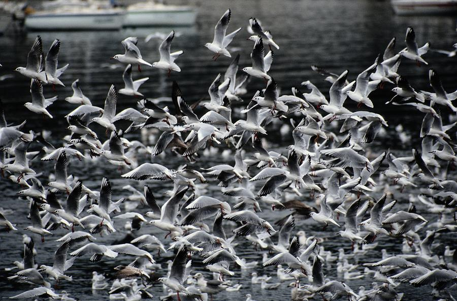 A Large Group Of Black-headed Gulls Photograph