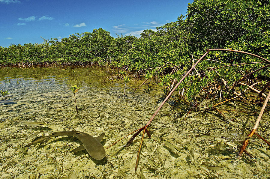 A Lemon Shark Pup Swims Among Mangrove Photograph  - A Lemon Shark Pup Swims Among Mangrove Fine Art Print
