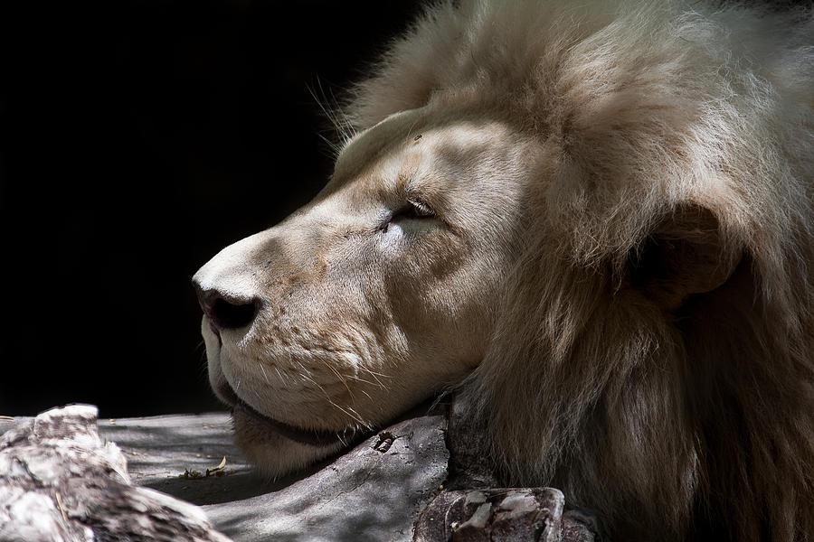 Lion Photograph - A Lions Portrait by Ralf Kaiser