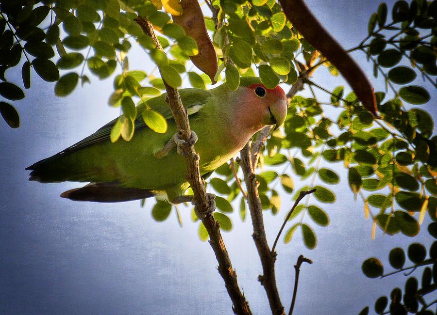 Peach Faced Lovebird Photograph - A Little Love  by Saija  Lehtonen