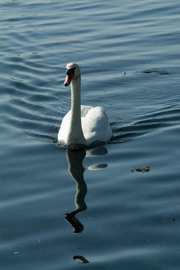 A Lone Swan Swims Through The Water Photograph
