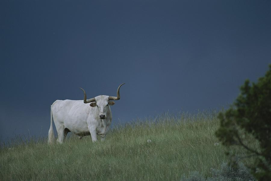 North America Photograph - A Longhorn Steer, One Member Of A Small by Michael Melford