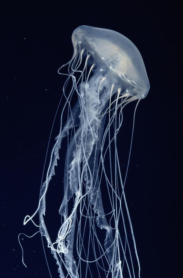 A Lovely White Jellyfish, A Sea Nettle Photograph  - A Lovely White Jellyfish, A Sea Nettle Fine Art Print