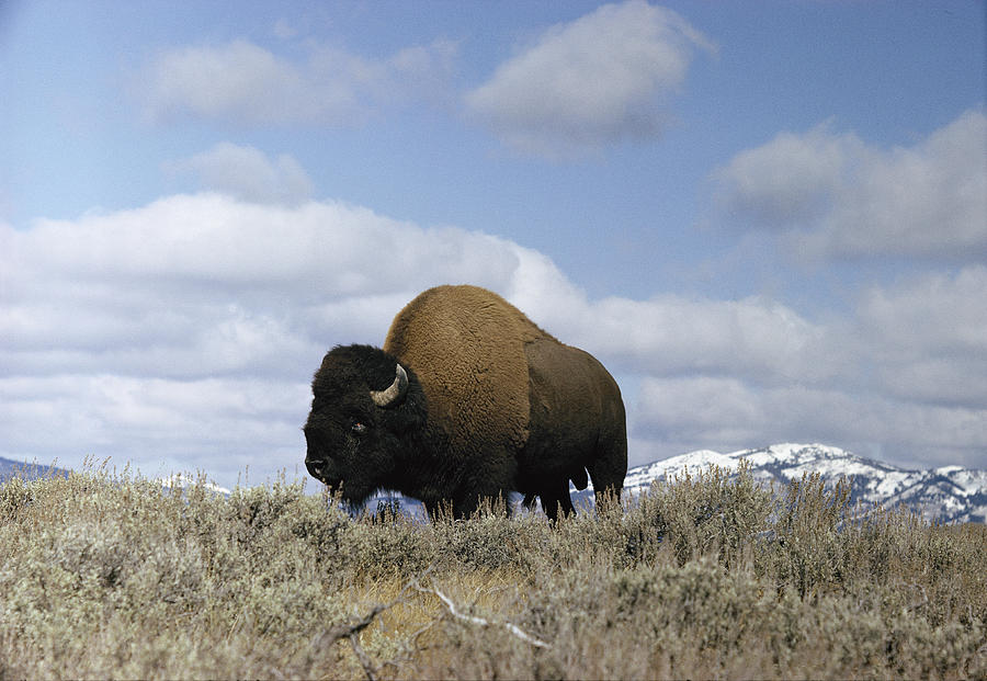 A Magnificent American Bison Bull Bison Photograph