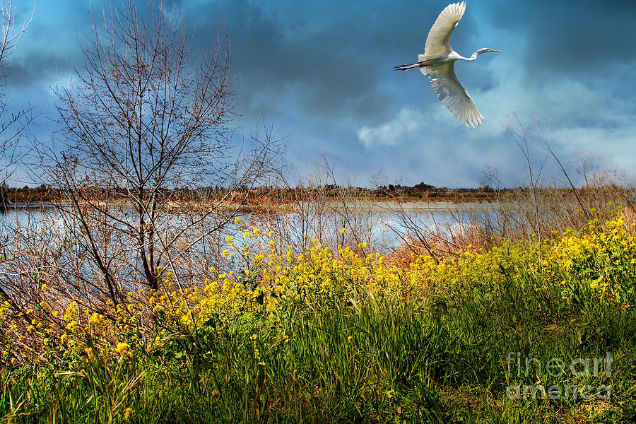 A Moment In Time In The Journey Of The Great White Egret . 7d12643 Photograph