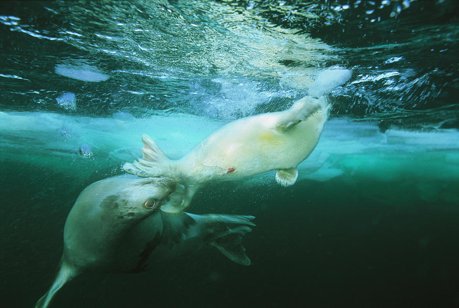 A Mother Harp Seal Pushes Her Baby Back Photograph by ...