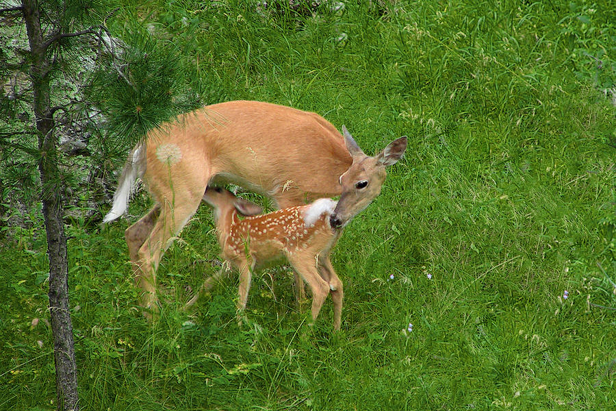 A Mothers Love - Doe And Fawn Photograph