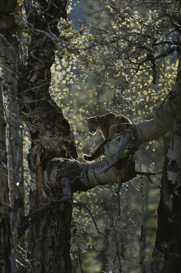 A Mountain Lion, Felis Concolor, Climbs Photograph