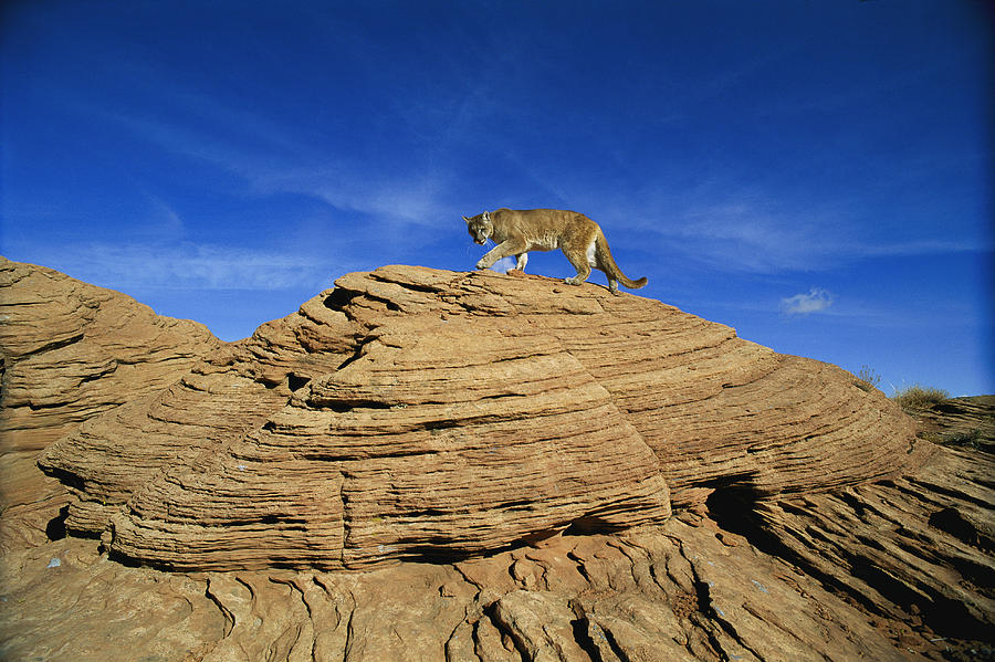 A Mountain Lions Walks Across This Photograph