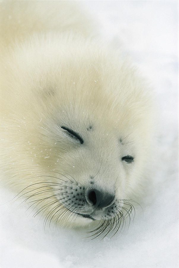 A  Newborn Harp Seal Pup In Its Thin Photograph  - A  Newborn Harp Seal Pup In Its Thin Fine Art Print