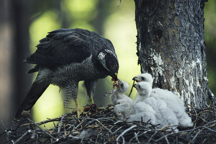 A Northern Goshawk Feeds Its Scrawny Photograph