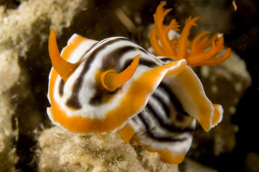 One Animal Photograph - A Nudibranch Crawls Over The Reef by Tim Laman