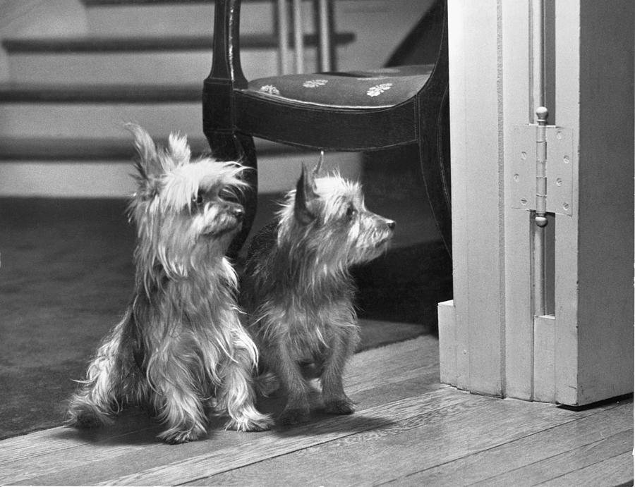 A Pair Of Australian Silky Terriers Photograph