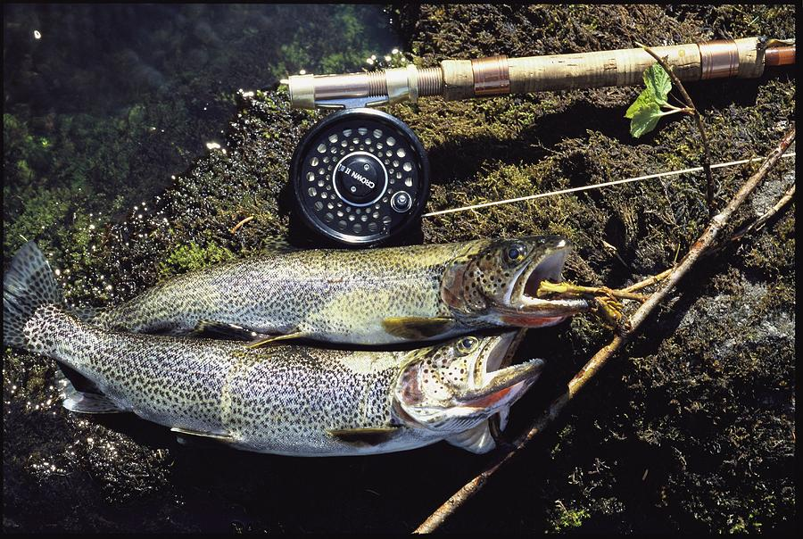 A Pair Of Cutthroat Trout, Salmo Photograph  - A Pair Of Cutthroat Trout, Salmo Fine Art Print