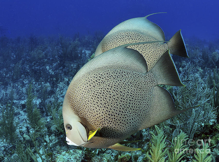 A Pair Of Gray Angelfish On A Caribbean Photograph  - A Pair Of Gray Angelfish On A Caribbean Fine Art Print